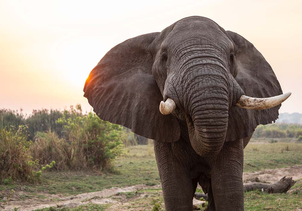 Elephant in Tanzania, Africa.