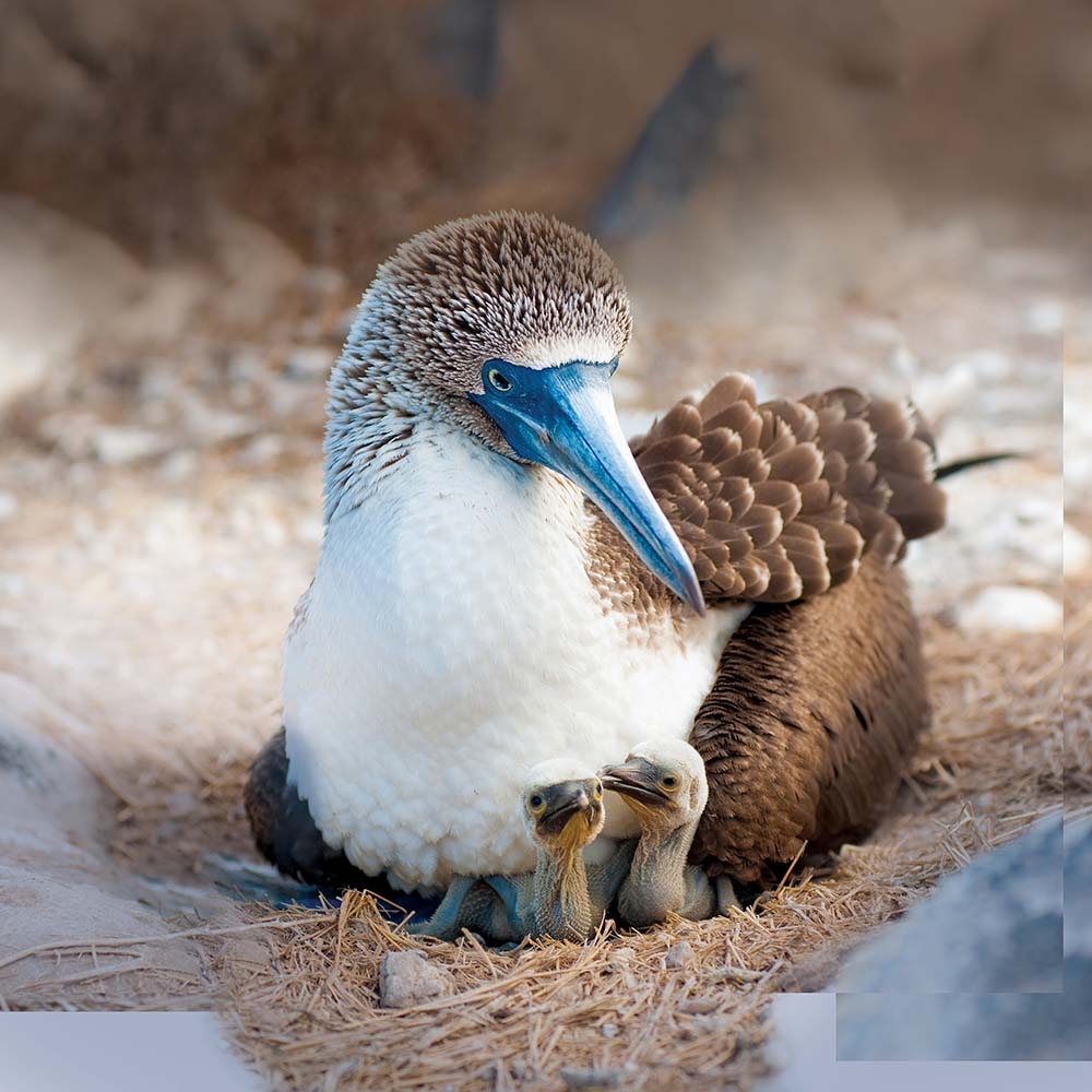 Blue-footed booby and chicks..