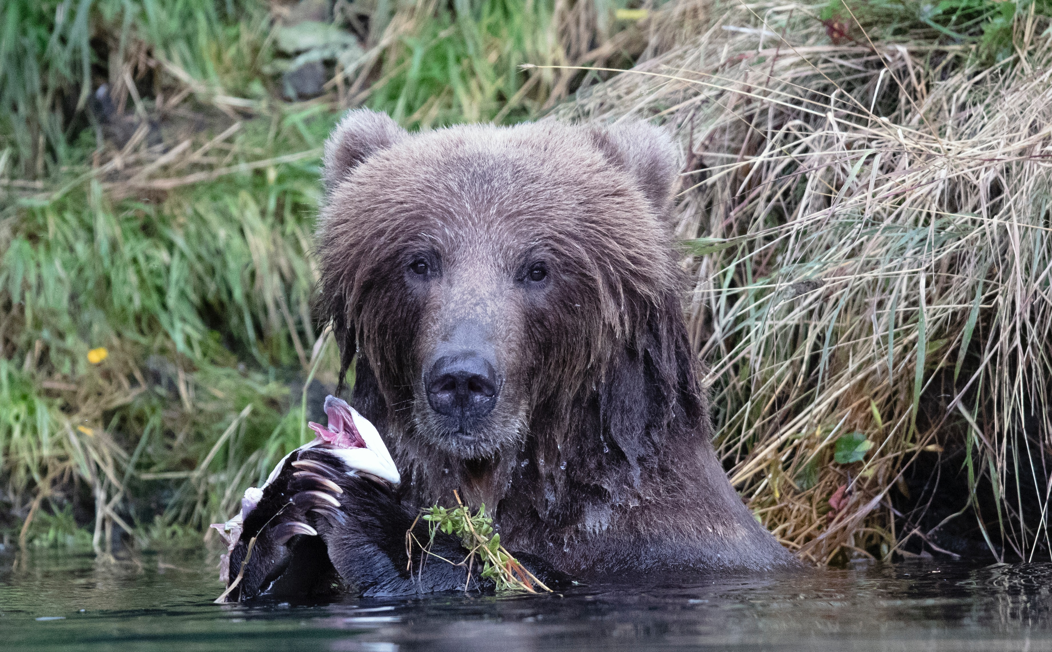 Alaskan brown bear fishing for salmon.