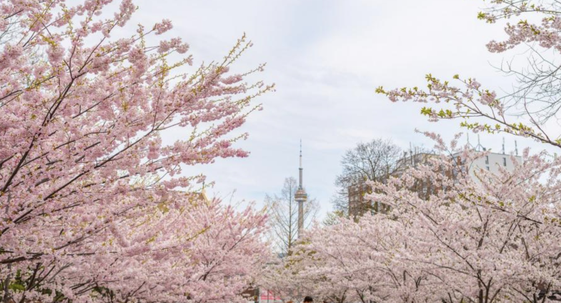 The Best Places To See Cherry Blossoms In Canada Tierone Travel
