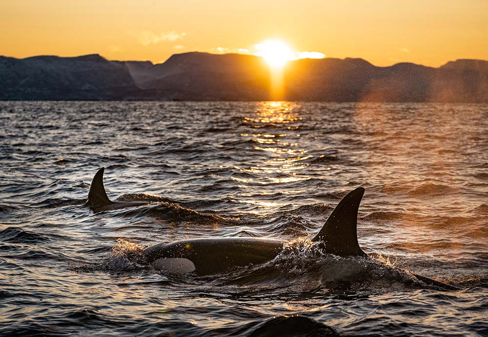 Killer whales in the ocean.