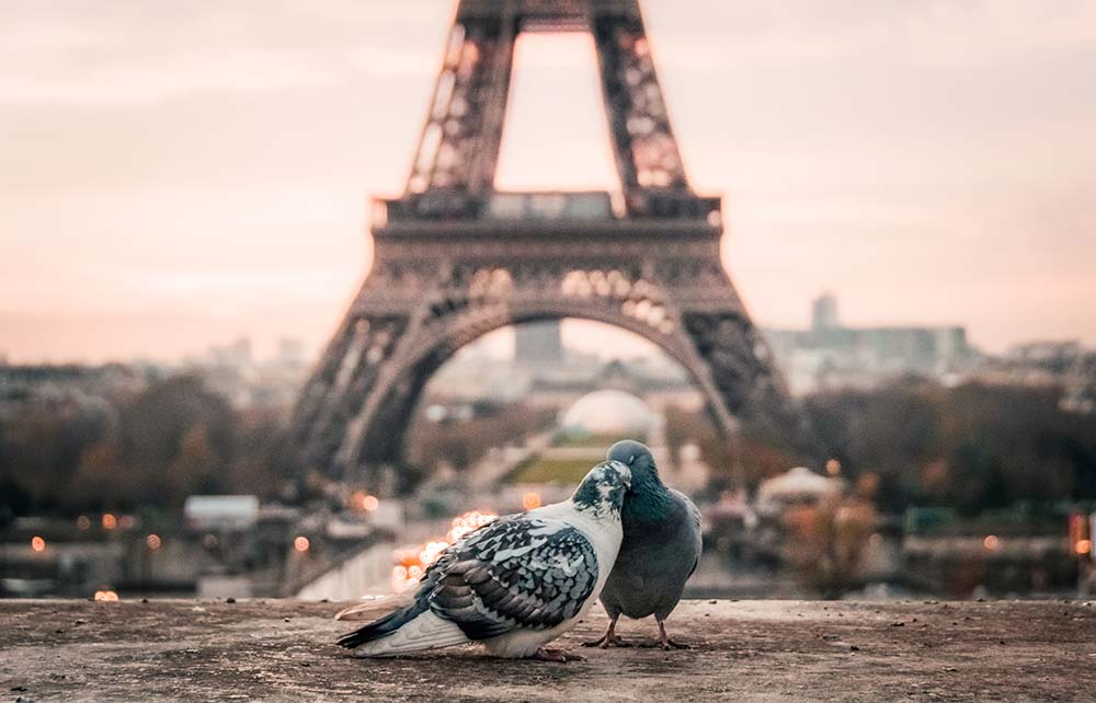 Pigeons in Paris.