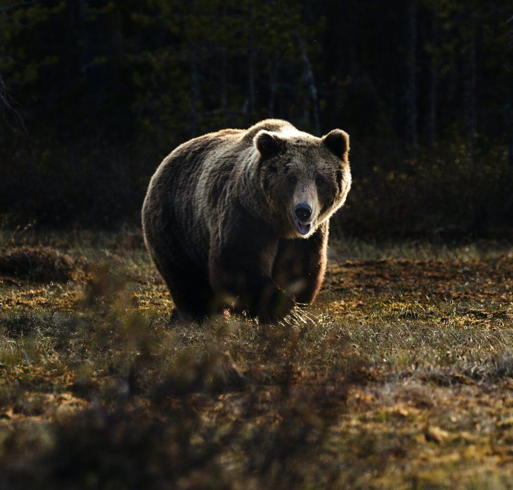 Grizzly bear walking in a field