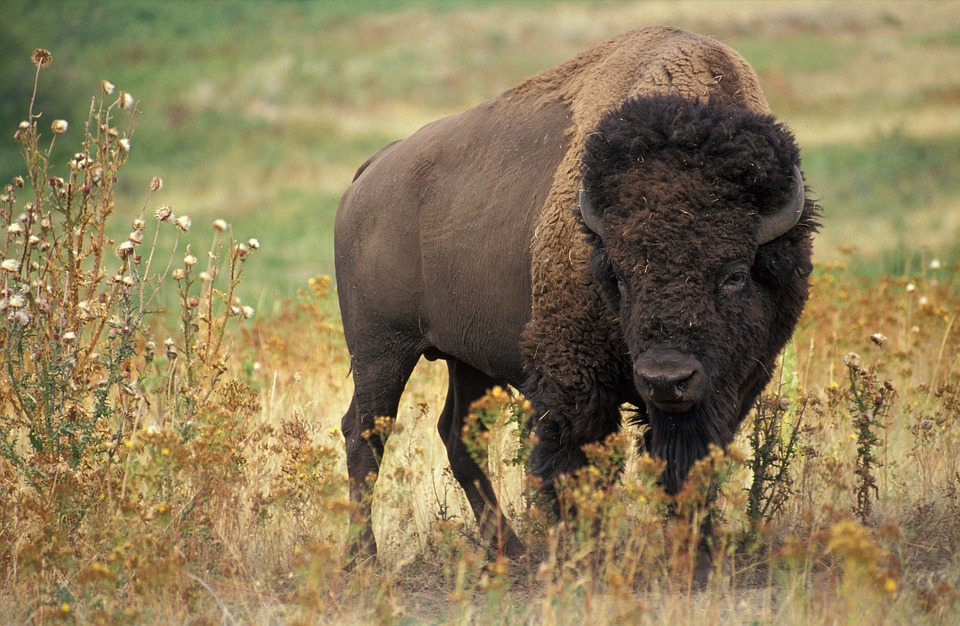 A bison standing in a field