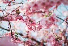 Best Places to see Cherry Blossoms in Canada